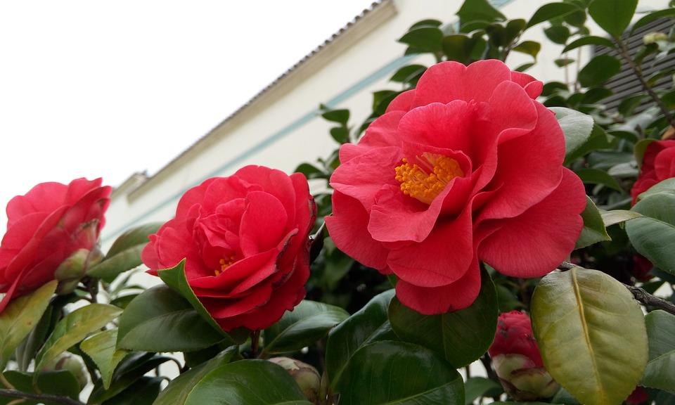 camellia-2102249_960_720
