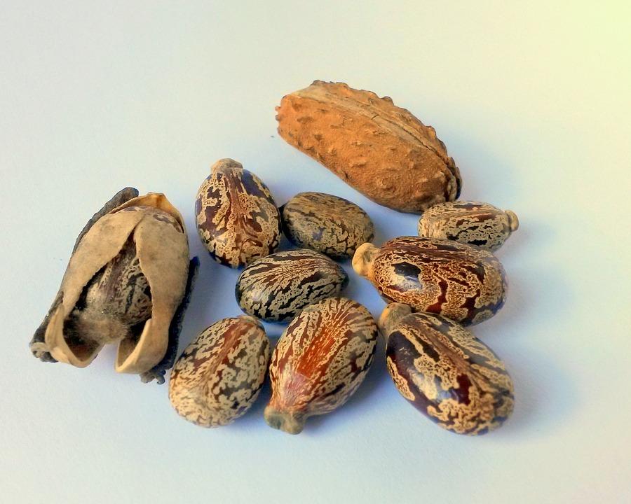 ヒマシ油種子