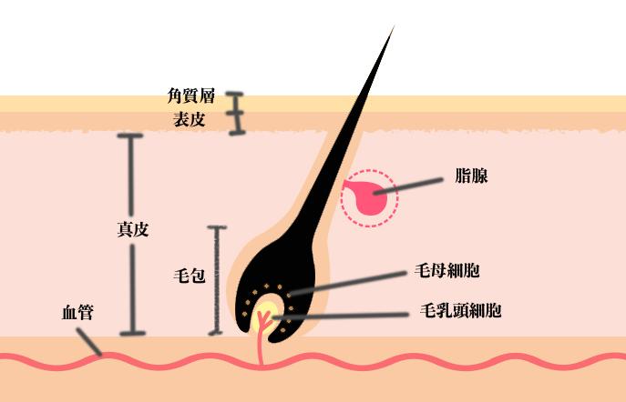 頭皮 毛穴 細胞