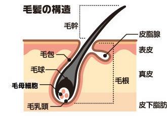 毛根の仕組み